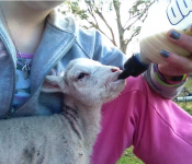 lamb-feeding